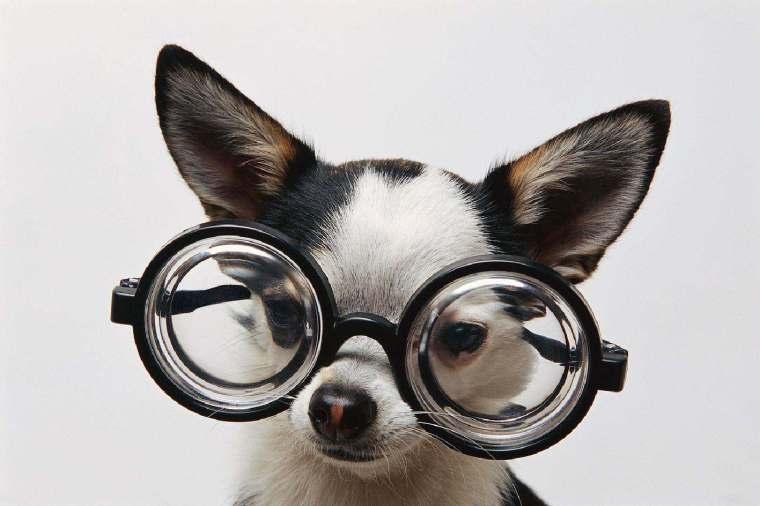 Dog-w-Glasses